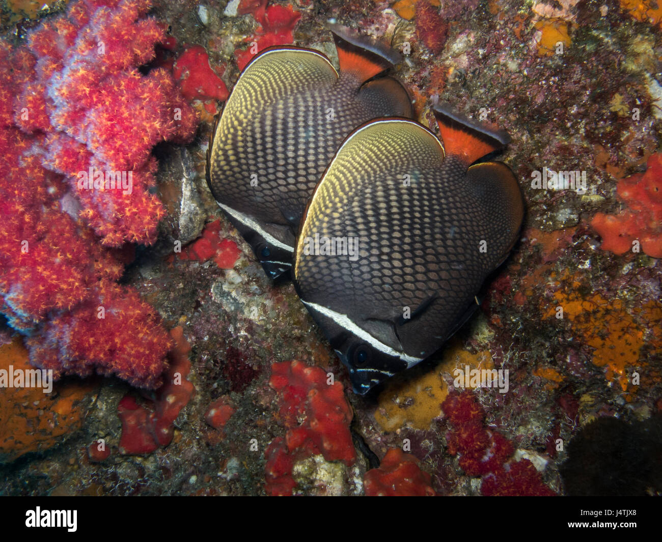 Collared Butterflyfish live together and swiming on coral - Stock Image