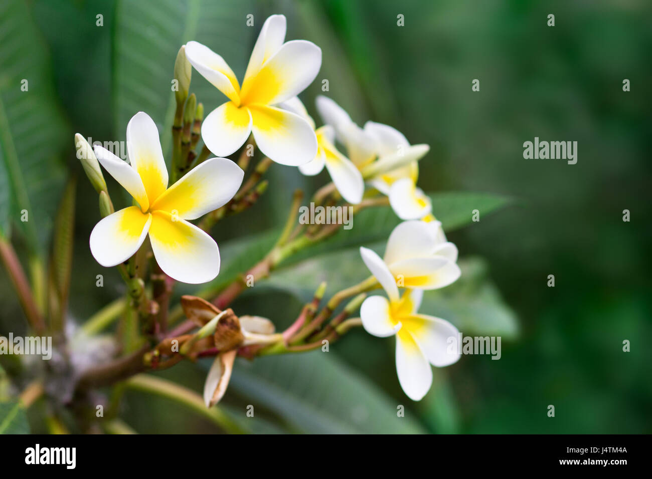 Blossoming of mango tree mango flower consists of 5 petals of white blossoming of mango tree mango flower consists of 5 petals of white on the edges and yellow at the center of the helical shape mightylinksfo Image collections
