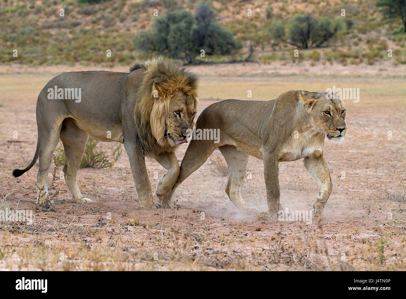 African lions in the Kgalagadi Transfrontier Park, Botswana - Stock Image