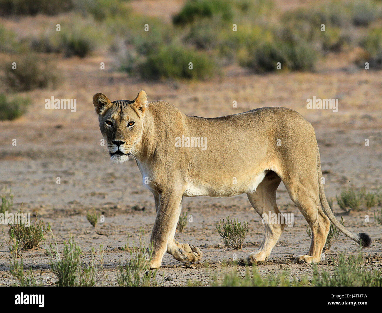 Female African lion in the Kgalagadi Transfrontier Park, Botswana - Stock Image