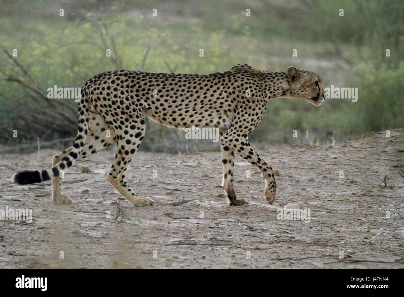 Male Cheetah stalking in the Kgalagadi Transfrontier Park bush - Stock Image