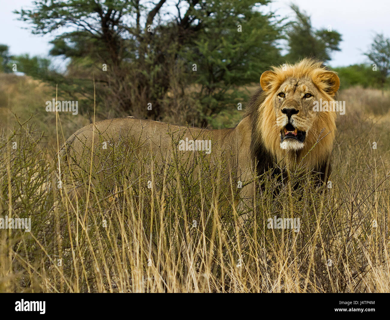 African lion in the Kgalagadi Transfrontier Park, Botswana - Stock Image