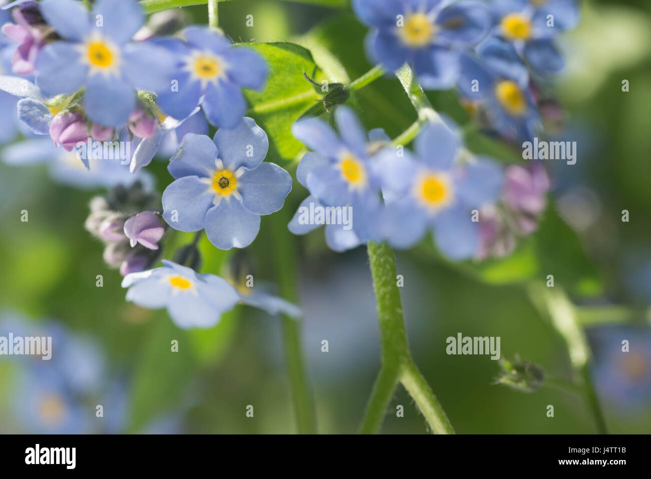 Forget Me Not Blue Spring Small Flowers In Bunch Stock Photo
