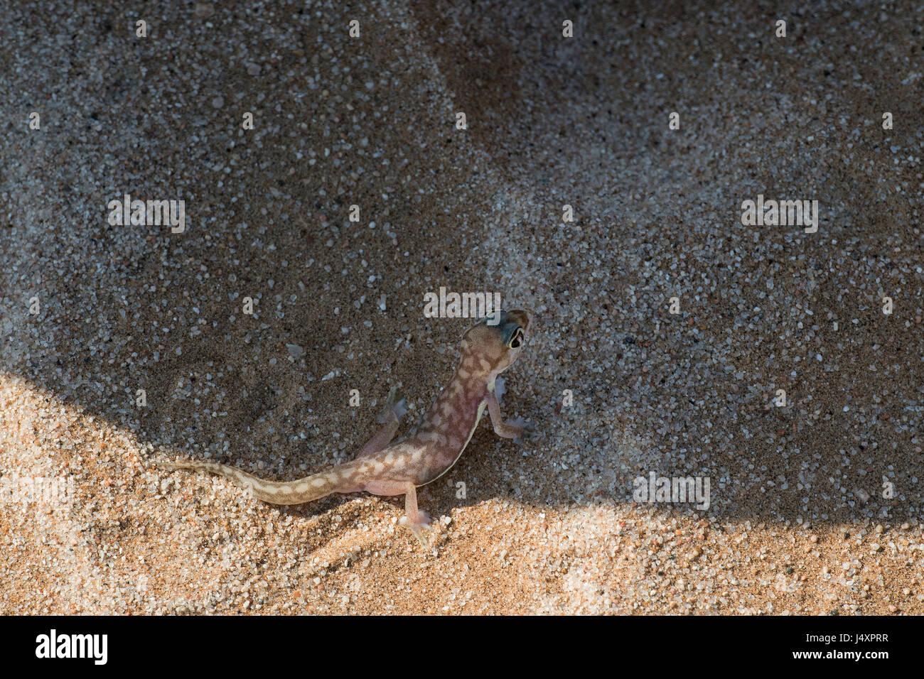 Geco palmato (Pachydactylus rangei), Namib Web-footed Gecko Stock Photo