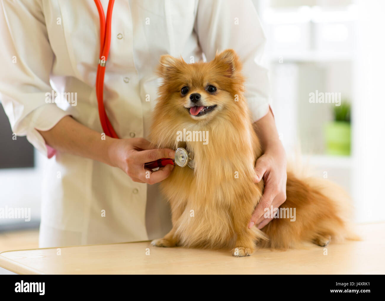 the vet examining the dog breeds Spitz with stethoscope in clinic - Stock Image