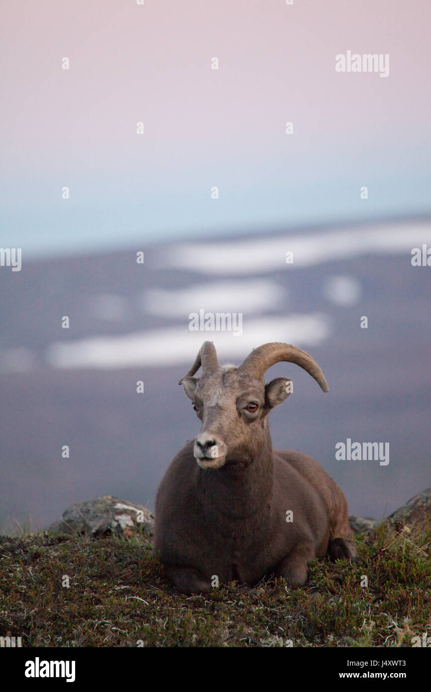 Putorana snow ram (Putorana big horn ram). Kutaramakan. Endemic animal of Putorana plateau. North of Russia. Siberia. - Stock Image