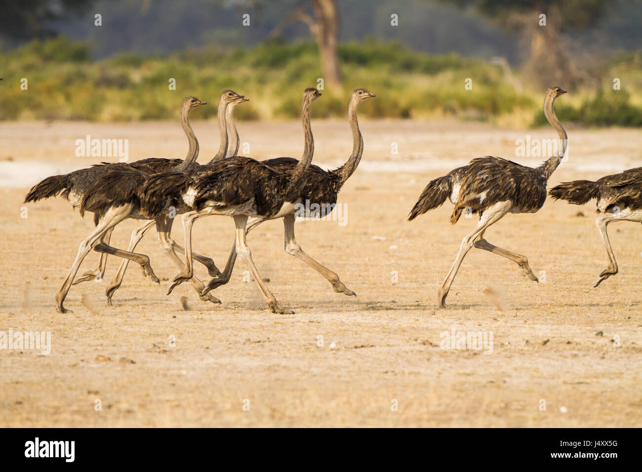 A flock of ostriches run across the foothills of Kilamajaro - Stock Image