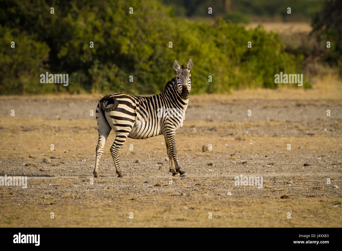 Common zebra halts to check for danger - Stock Image