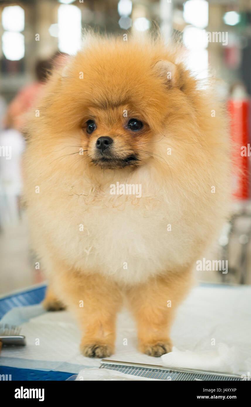 Beautiful Pomeranian Dog Puppy Cute Pet Portrait Of A Dog Stock