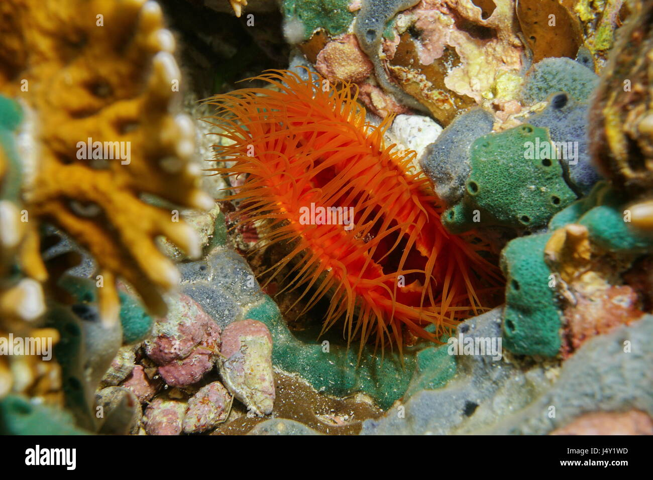 Marine bivalve mollusk Flame scallop, Ctenoides scaber, underwater in the Caribbean sea - Stock Image