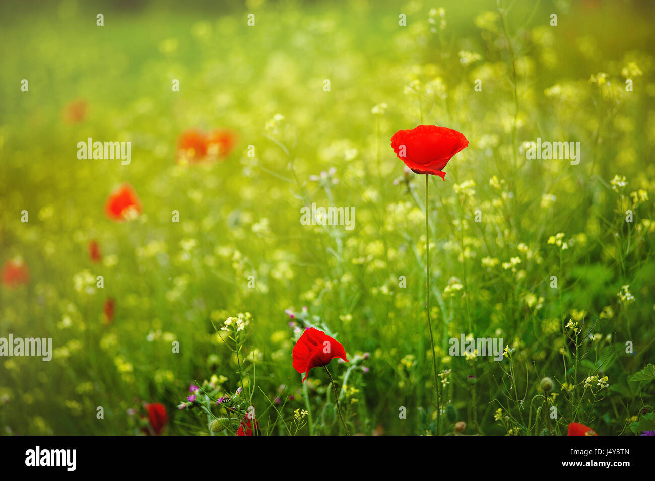Red poppies in rays sun red poppy flowers blooming in the green red poppies in rays sun red poppy flowers blooming in the green grass field floral sunny natural spring background can be used as image for remembrance mightylinksfo