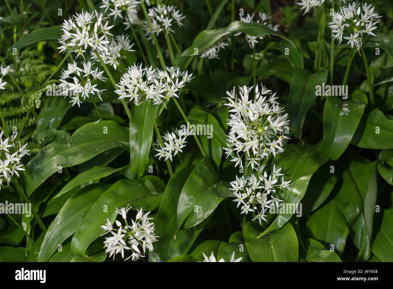 White flowers of the wild garlic called ramsons allium ursinum a white flowers of the wild garlic called ramsons allium ursinum a foraged edible wild green mightylinksfo