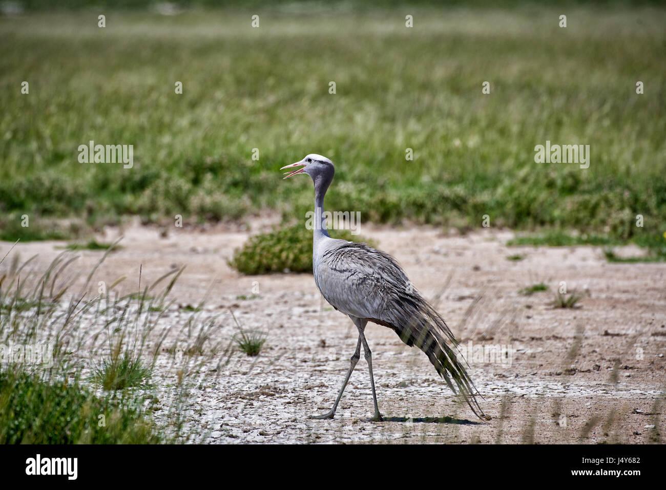 Blue crane, Etosha National Park, Namibia - Stock Image