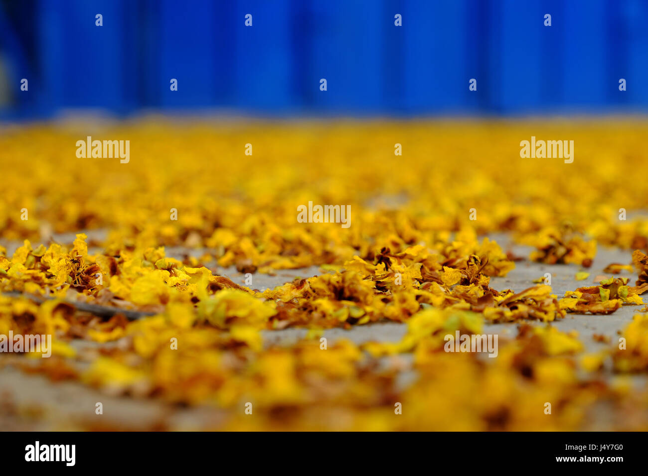 Yellow flower petals on floor fall by faded flowers make beautiful yellow flower petals on floor fall by faded flowers make beautiful background of nature mightylinksfo