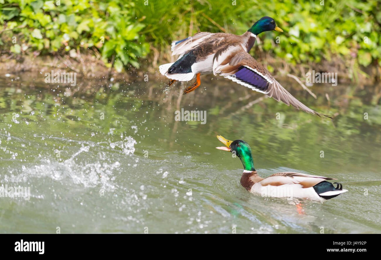 Drake Mallard Duck (Anas platyrhynchos) on water chasing another duck away as it flies off, in the UK. - Stock Image