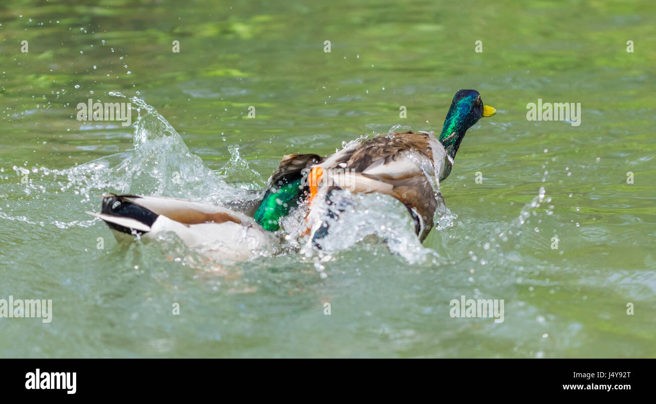 Pair of Drake Mallard Ducks (Anas platyrhynchos) fighting on water in West Sussex, England, UK. - Stock Image