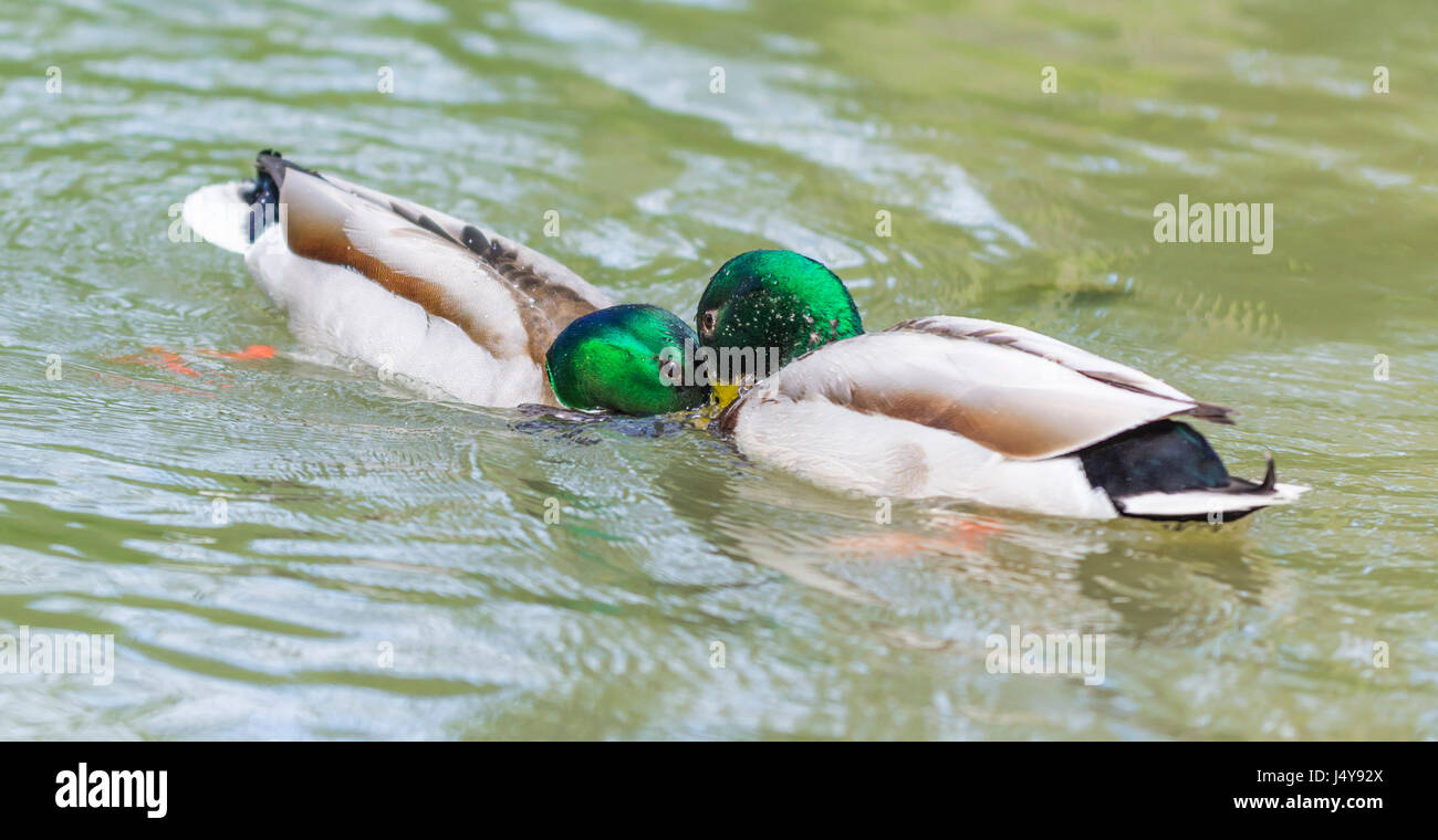 Paid of Drake Mallard Ducks (Anas platyrhynchos) face to face confronting each other in water in Arundel, West Sussex, - Stock Image