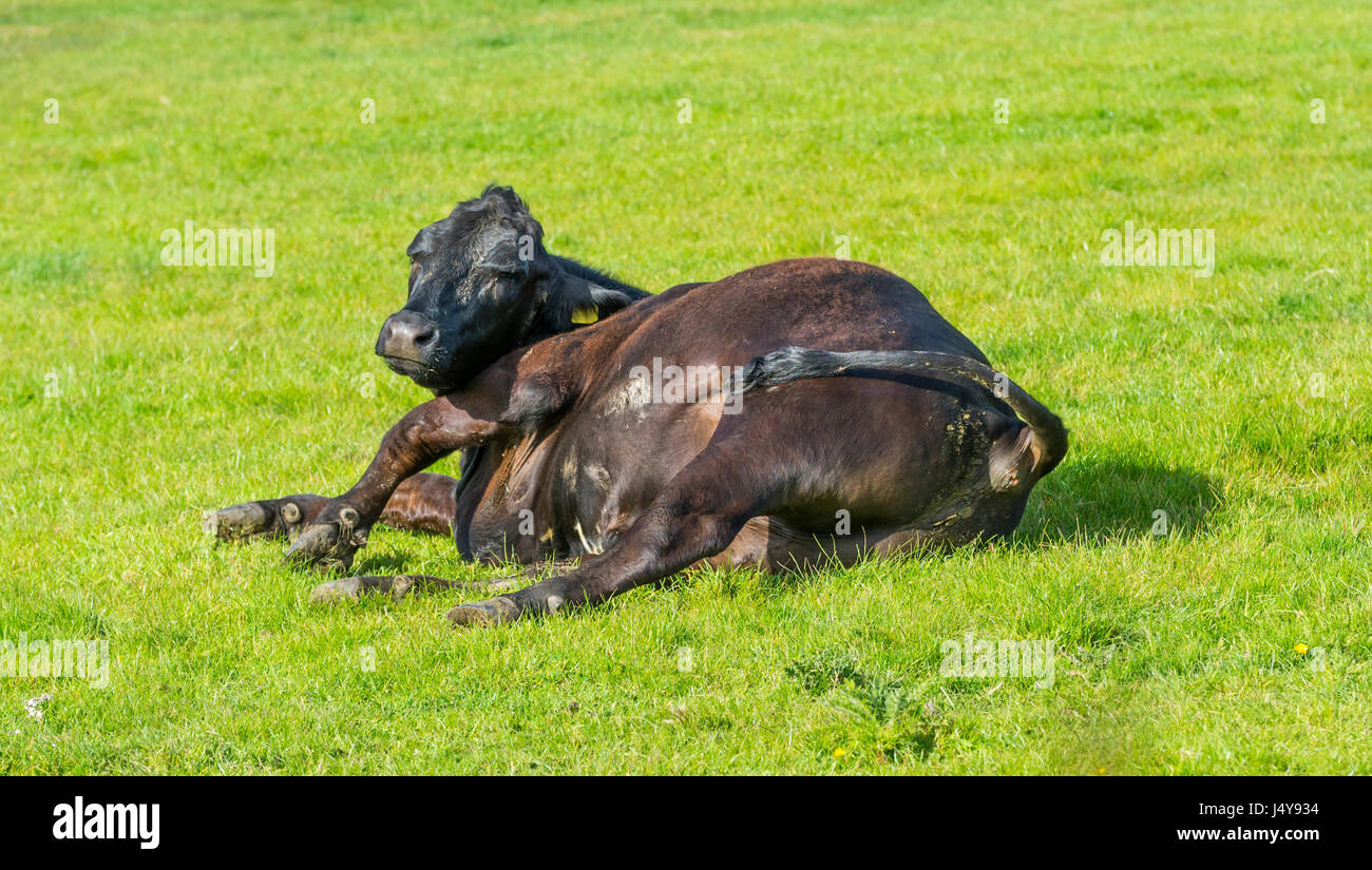 Single cow laying on grass. Lazy concept. - Stock Image