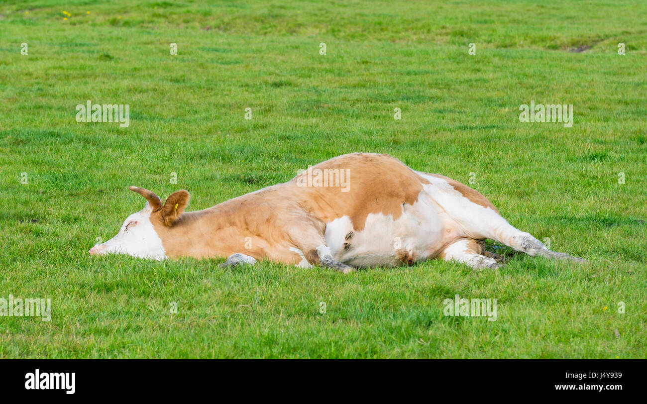 Cow laying down having a rest. - Stock Image