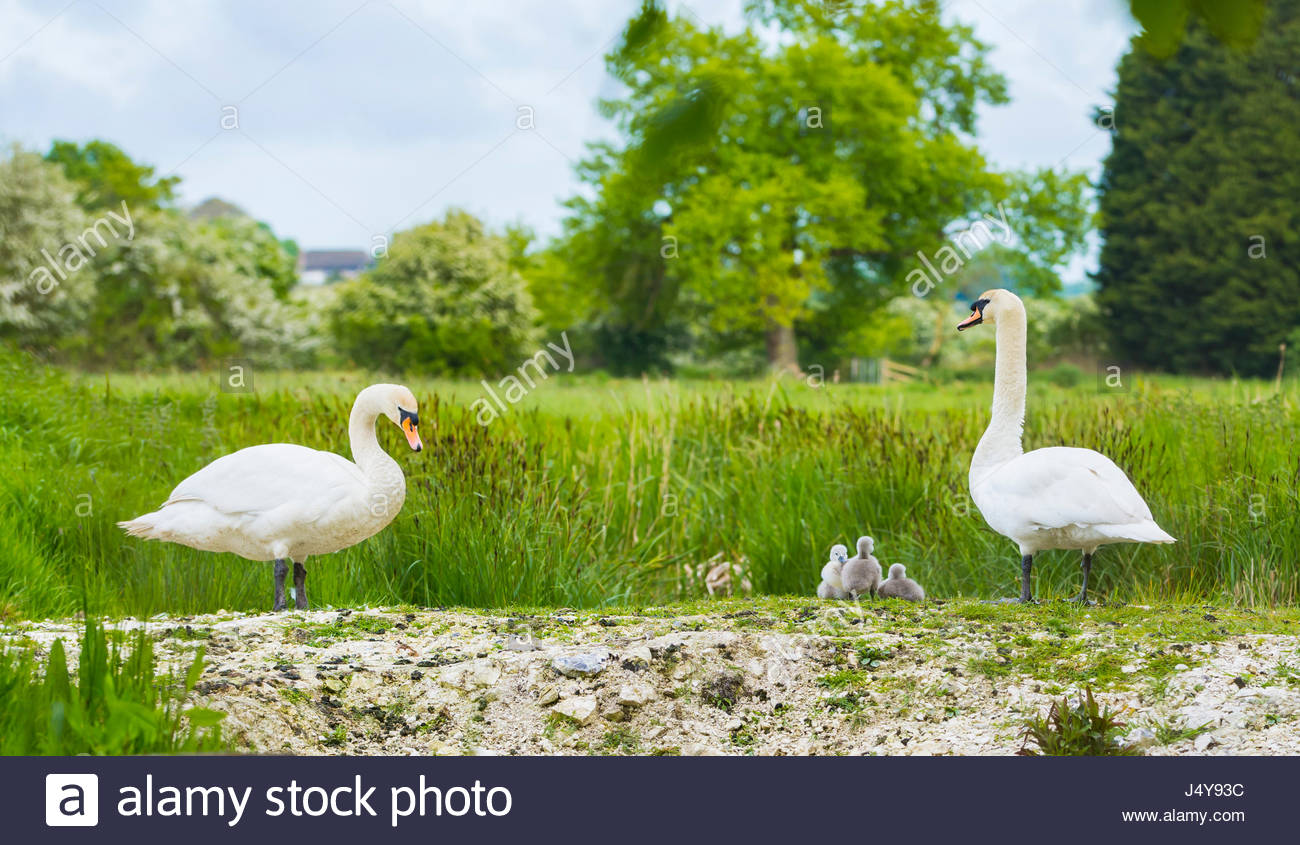 White Mute Swan (Cygnus olor),family with adults and cygnets in late Spring in soft evening light in the UK. White - Stock Image