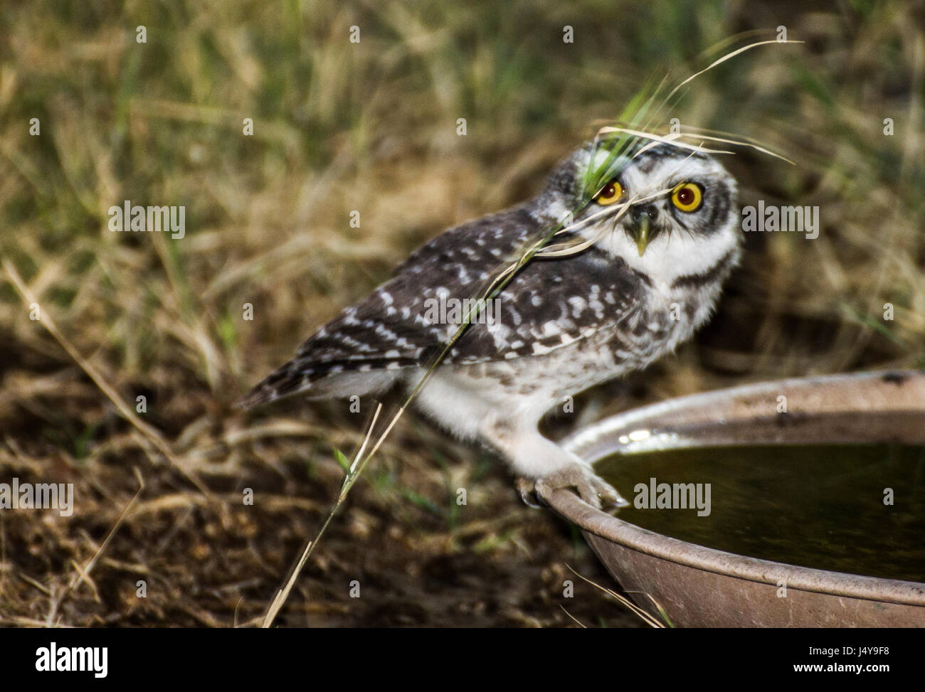Thirsty Owlets in summer - Stock Image