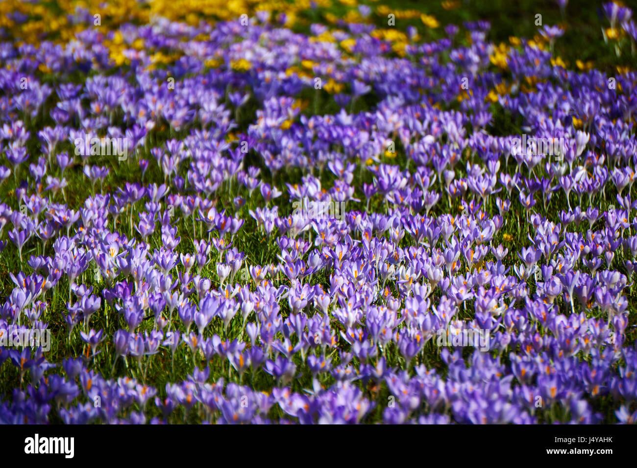 Saffron Field Stock Photos Saffron Field Stock Images Alamy