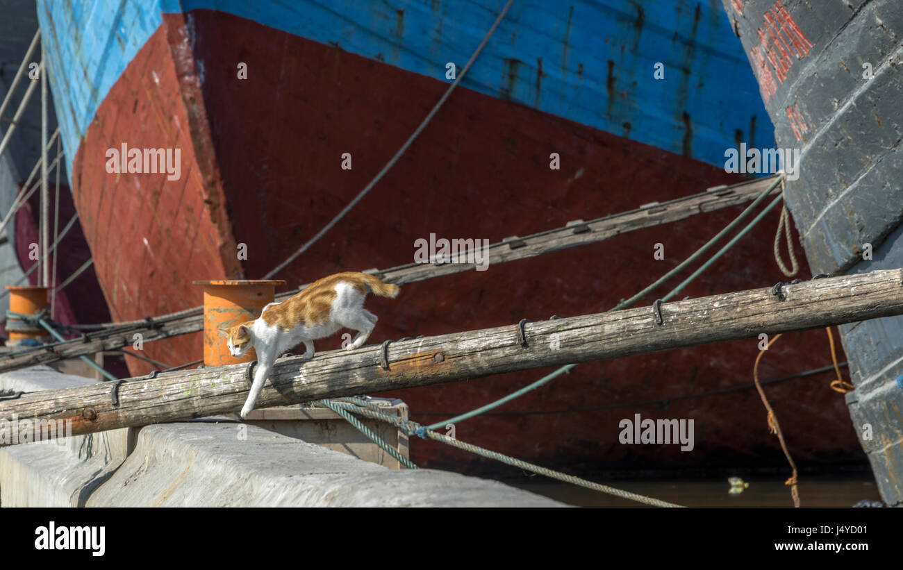 Pinisi ship's cat going ashore, Sunda Kalapa harbour, Jakarta, Indonesia - Stock Image