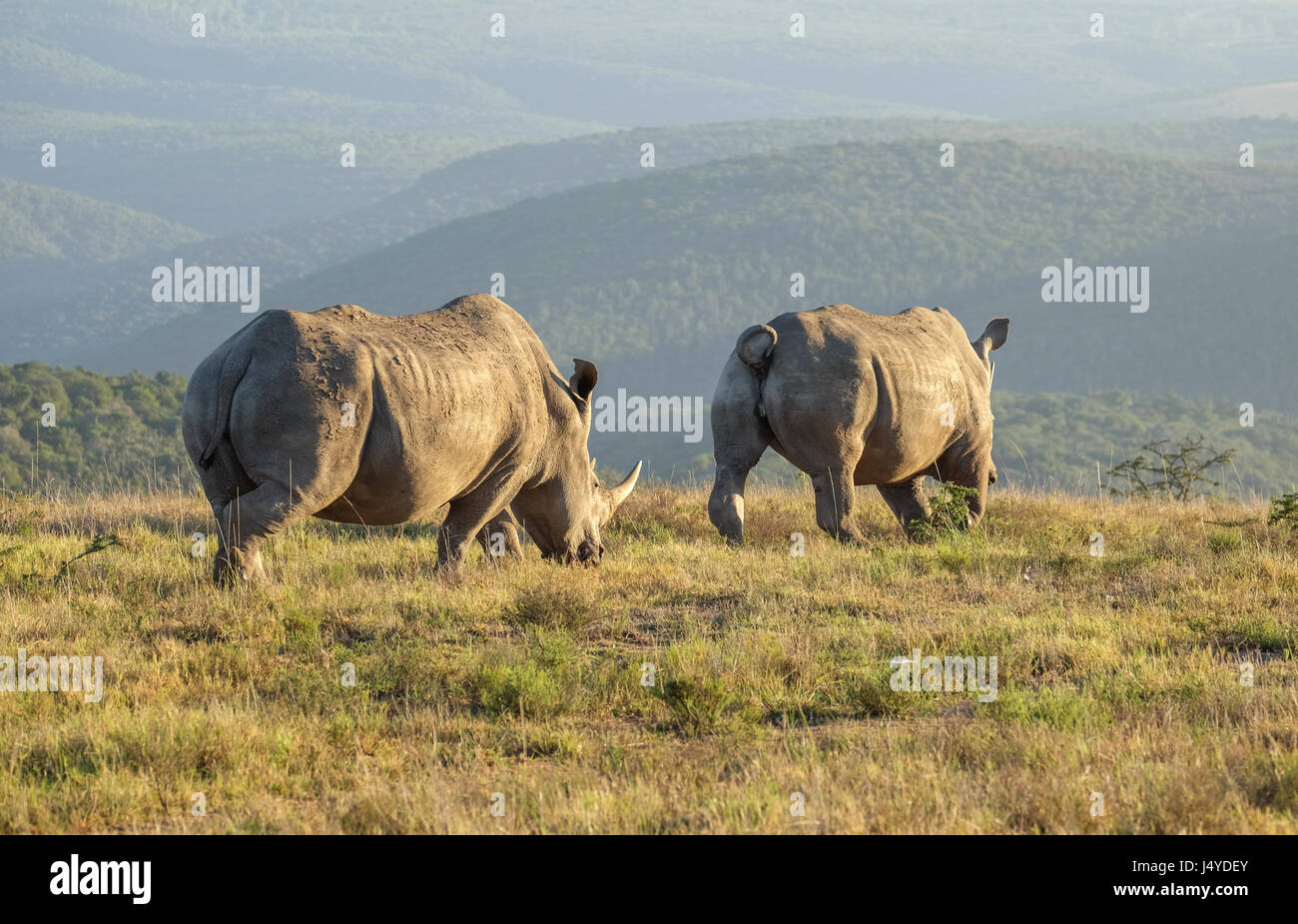 Two White Rhinos walking off into the rising sun on the African Savannah or grass plains, peaceful and blissfully - Stock Image