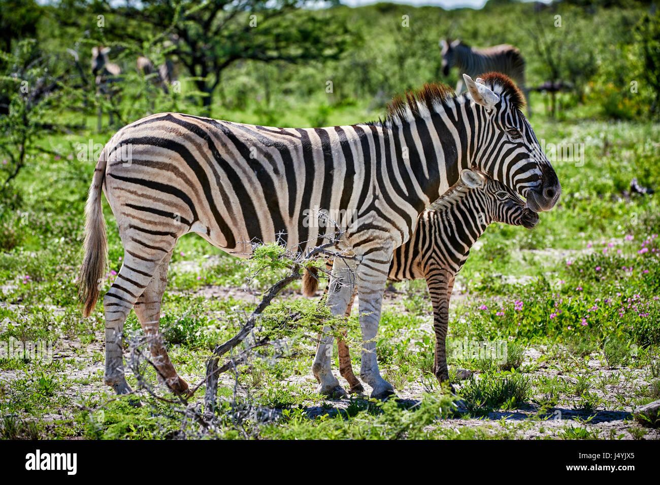 Burchell's zebra, mother with foal, Etosha National Park, Namibia - Stock Image
