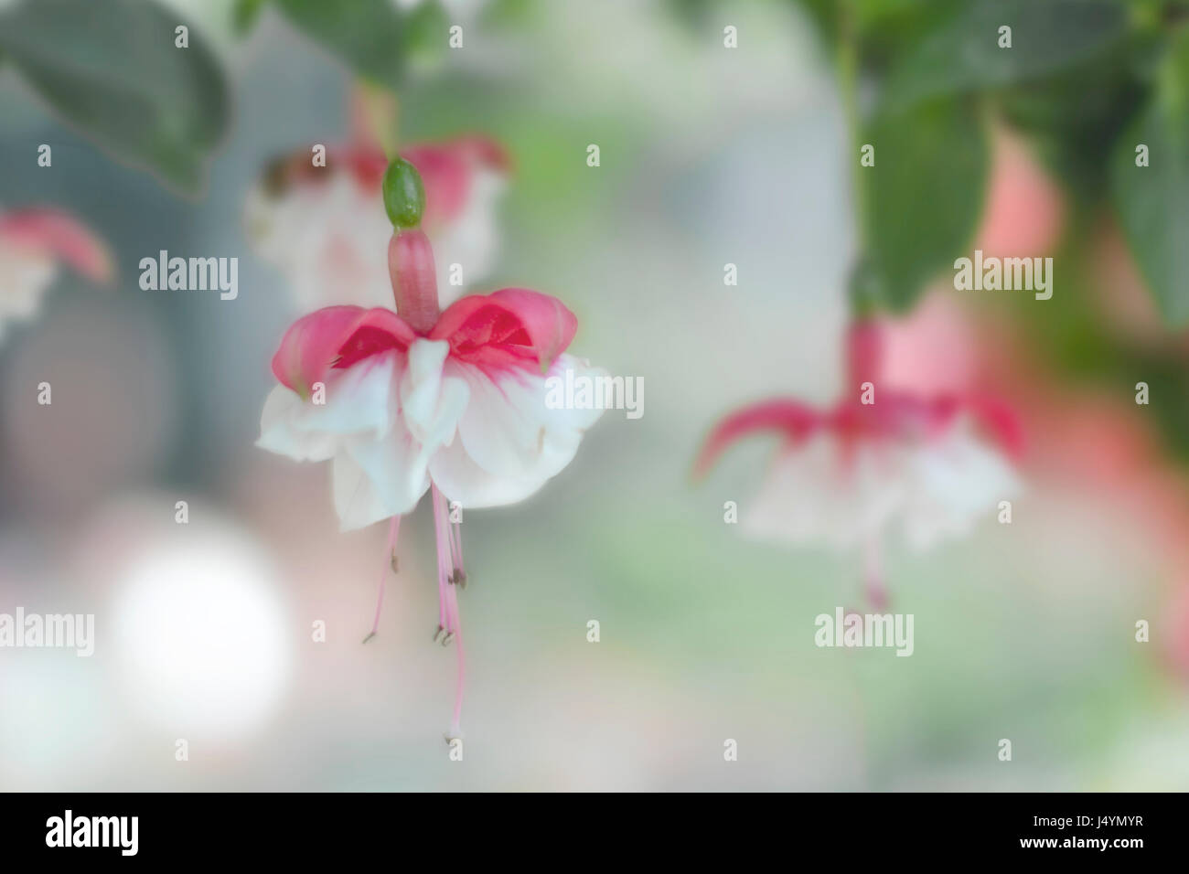 Hanging Fuchsia flowers - Stock Image