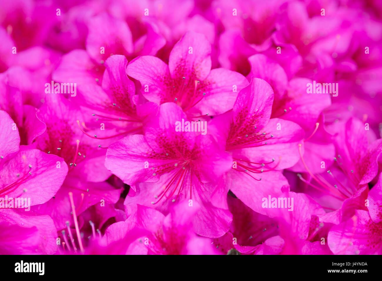 Azalea Japonica Stock Photos Azalea Japonica Stock Images Alamy