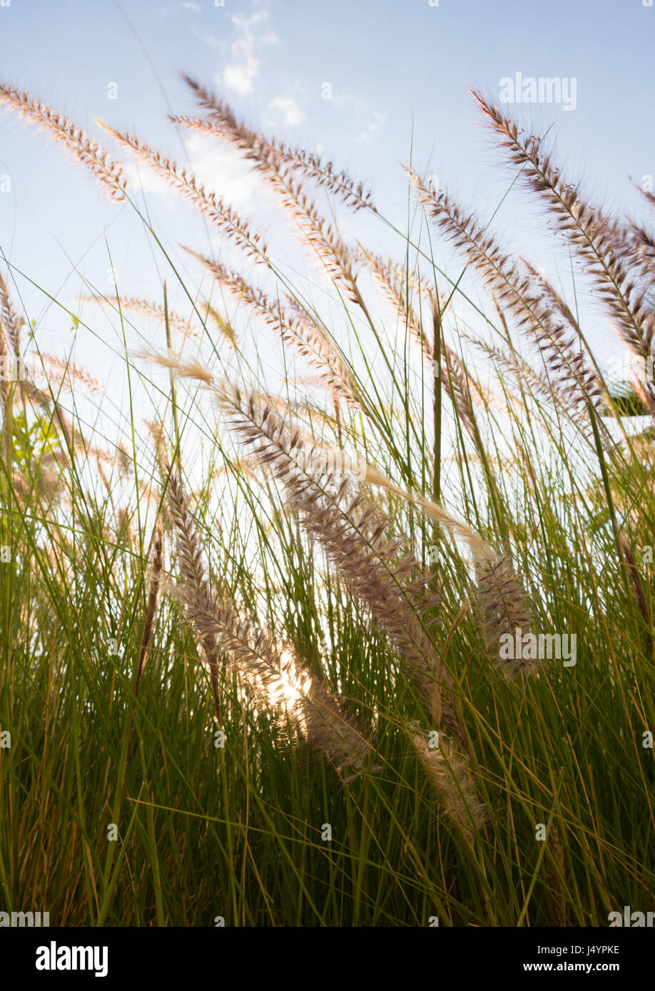 Close up of back lit grass with green blades and reddish brown feathery seed heads waving in the breeze. Light blue - Stock Image