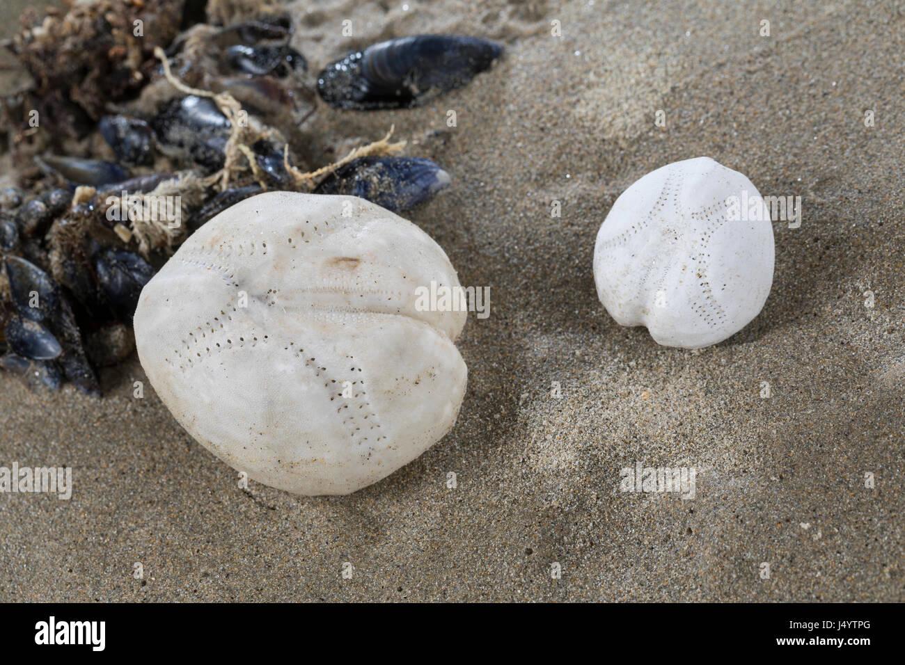 Herz-Seeigel, Herzseeigel, Herzseeigel, Seeigel-Skelett am Strand, Spülsaum, Skelett eines unregelmäßigen - Stock Image