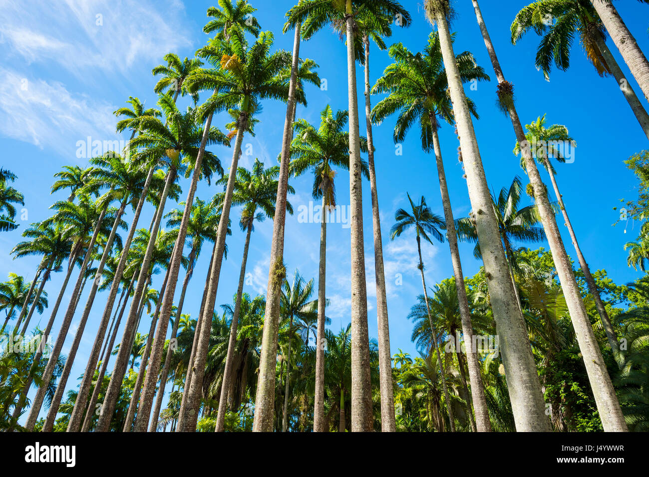 Royal palm trees soar into bright tropical sky in a dramatic alignment in Rio de Janeiro, Brazil - Stock Image