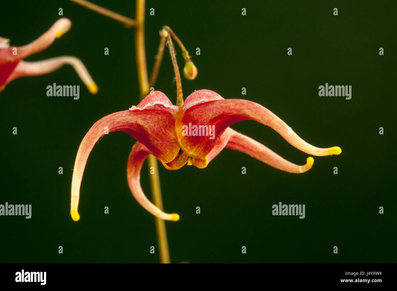 Scientific Name Of Flower Stock Photos Scientific Name Of Flower