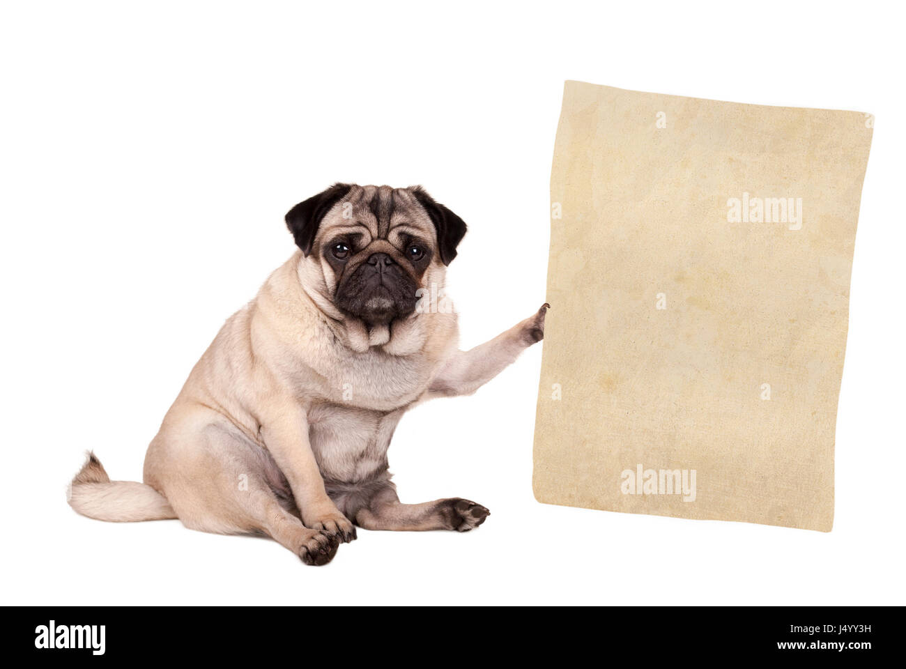 lovely cute pug puppy dog sitting down, holding paper scroll, isolated on white background Stock Photo