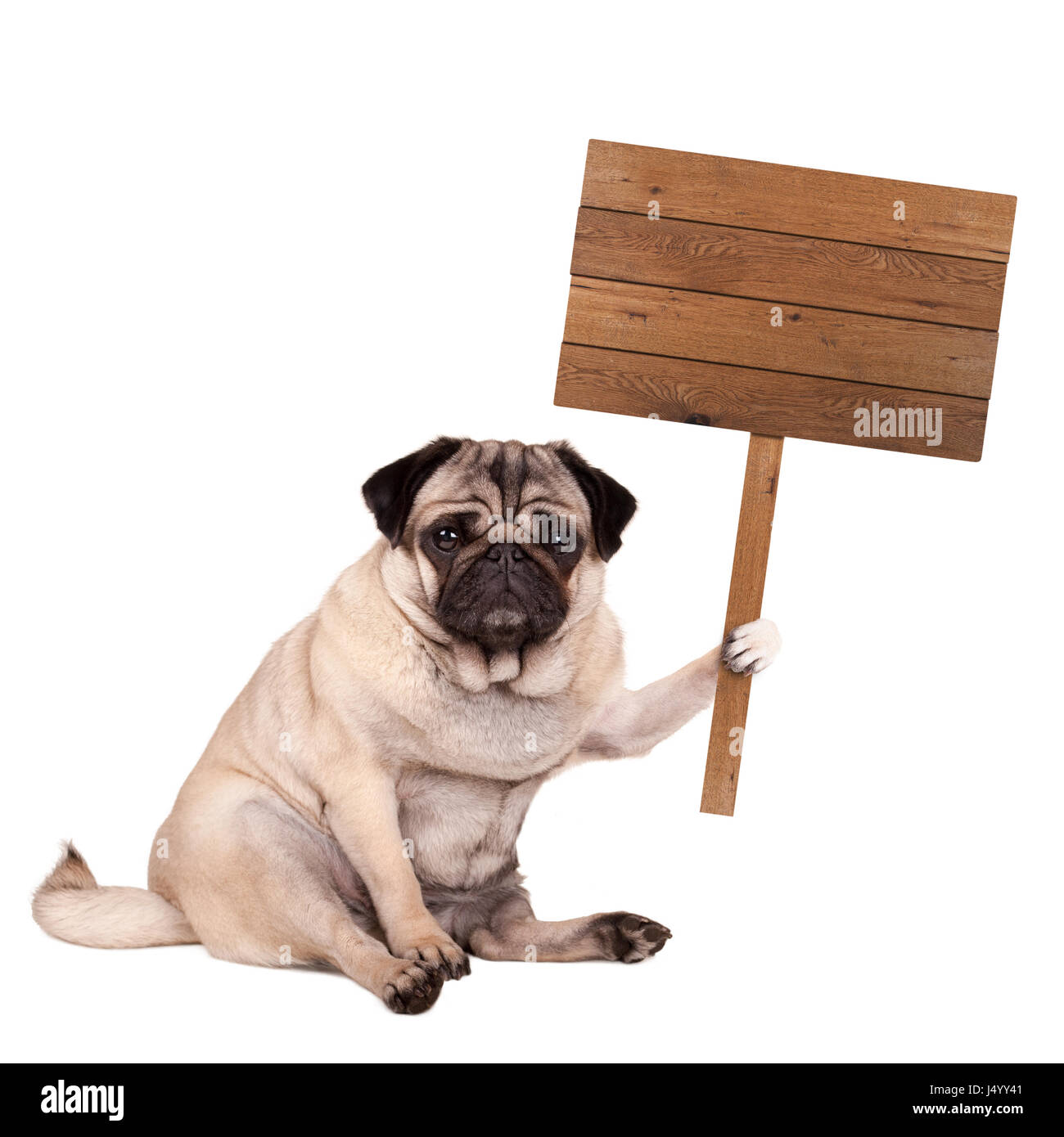 lovely cute pug puppy dog sitting down with blank wooden sign on pole, isolated on white background Stock Photo