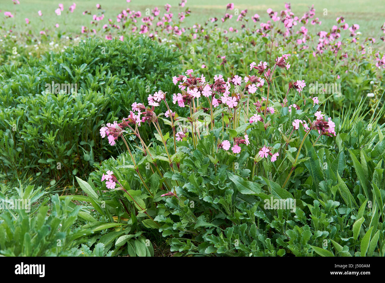 Red Campion (Silene dioica) planted along a field margin wildlife habitat conservation zone, UK. - Stock Image