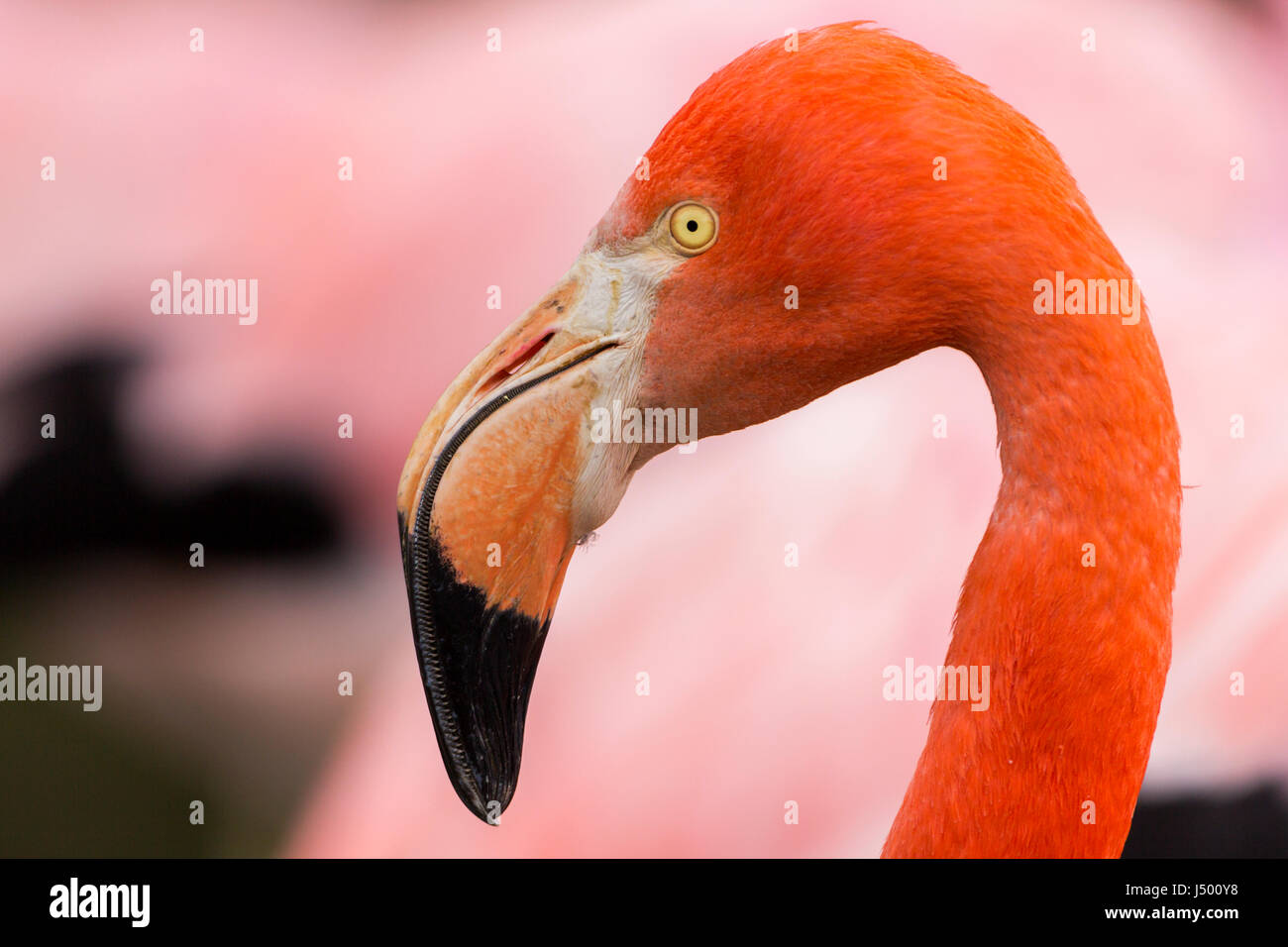 Flamingos seen at Slimbridge wetland centre are bright pink red or orange. This orange one is a greater flamingo. - Stock Image