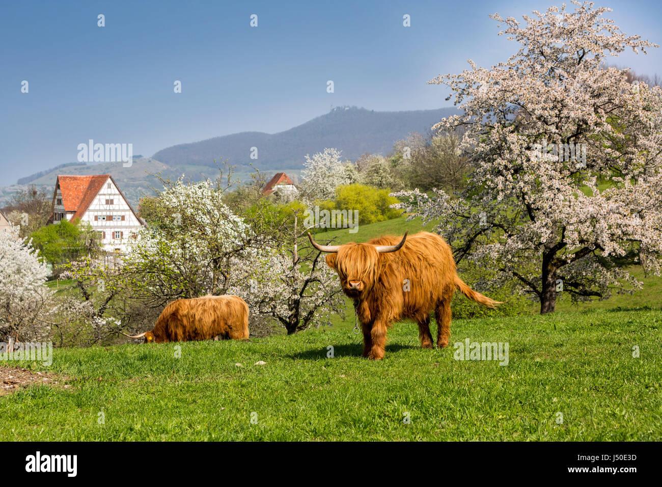 Scottish highland cattle,pasture near the Freilichtmuseum Beuren. - Stock Image