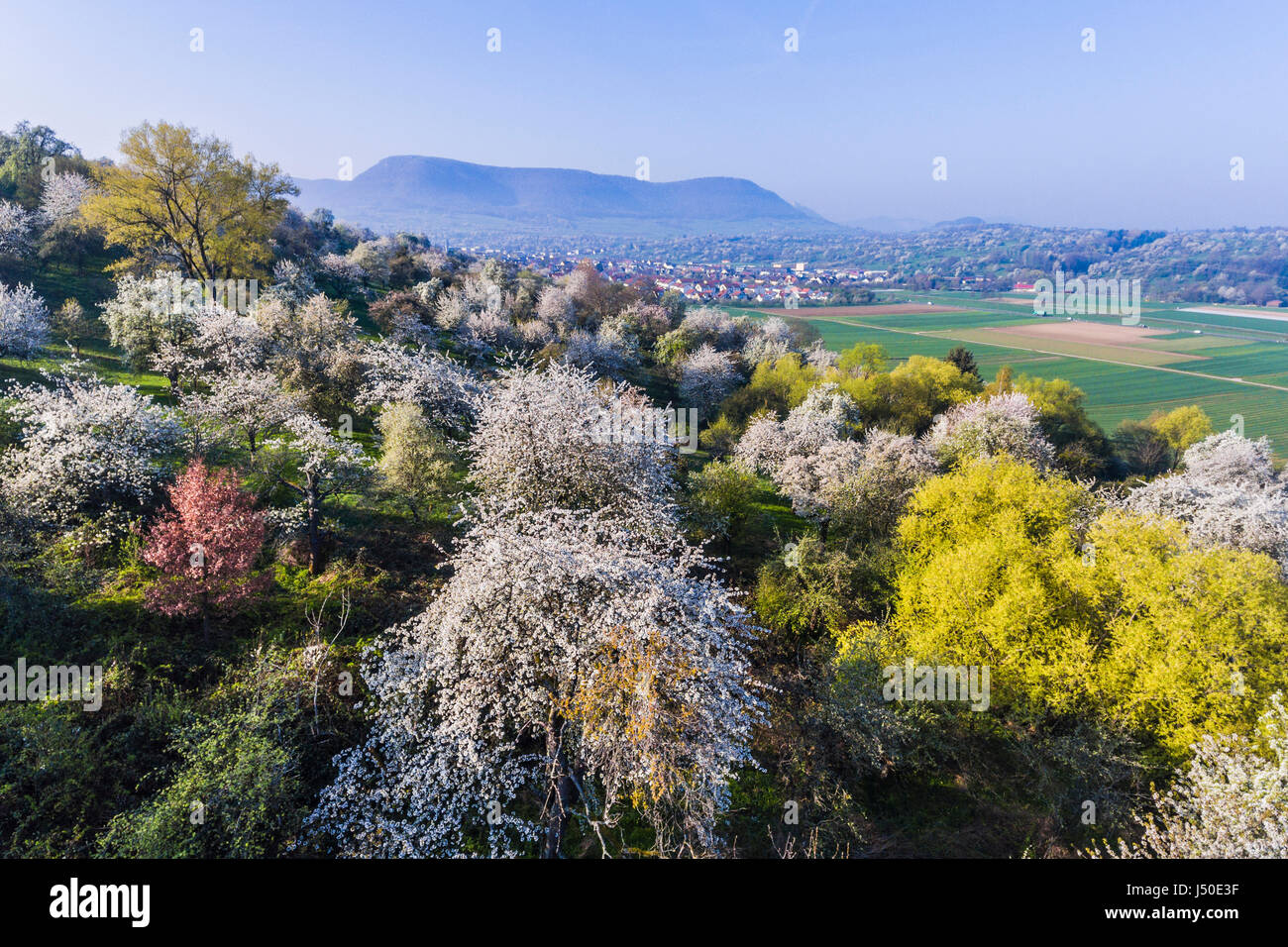 Blooming apple trees on the Swabian Alb, next the small town Owen. - Stock Image