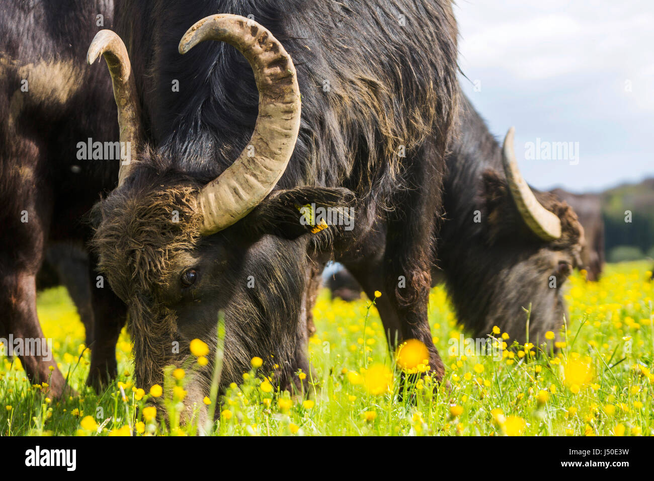 Buffalo on the summer pasture. Albbueffel (Bubalus Albensis) are a rarity on the Swabian Alb. Stock Photo