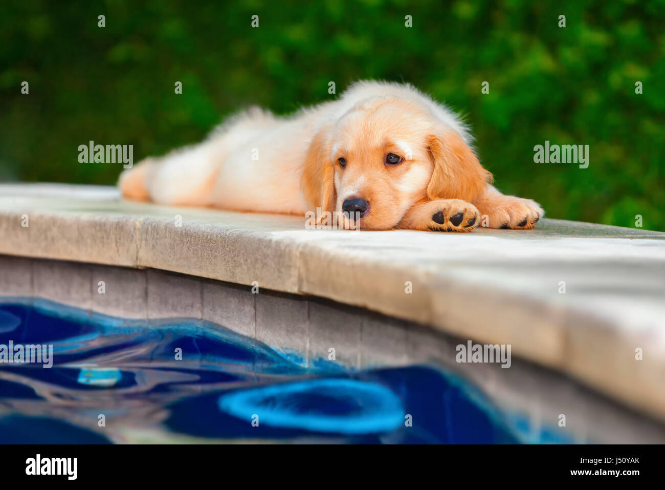 Funny Photo Of Lazy Little Golden Retriever Labrador Puppy Lying