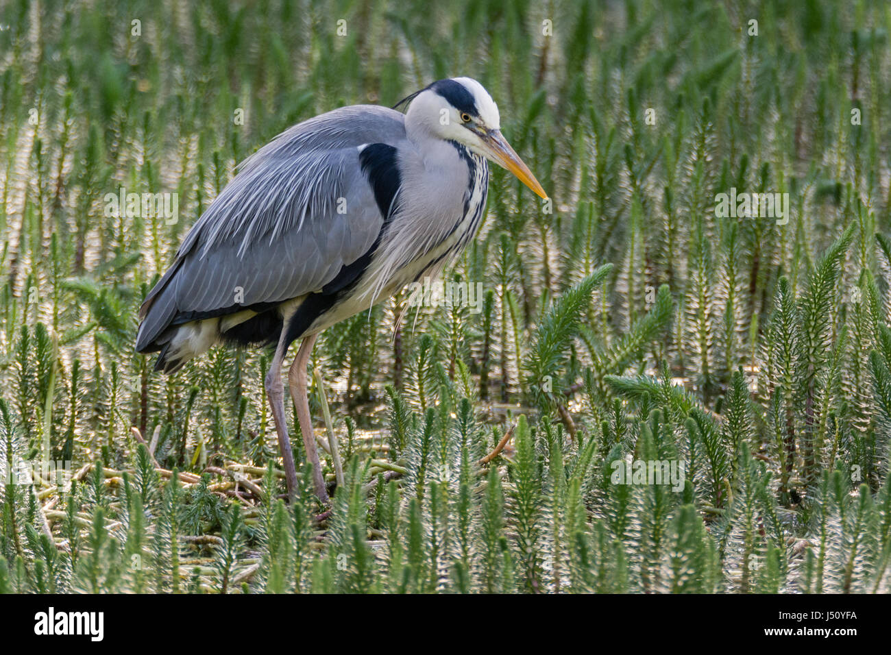 Grey heron (Ardea cinerea) hunting amongst vegetation. Large water bird in the family Ardeidae looking for fish Stock Photo