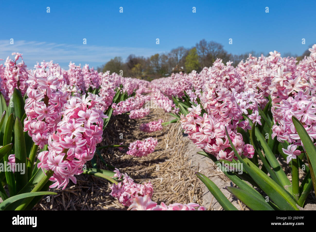 Flowers Field In Spring Season With Pink Hyacinths In Holland Stock