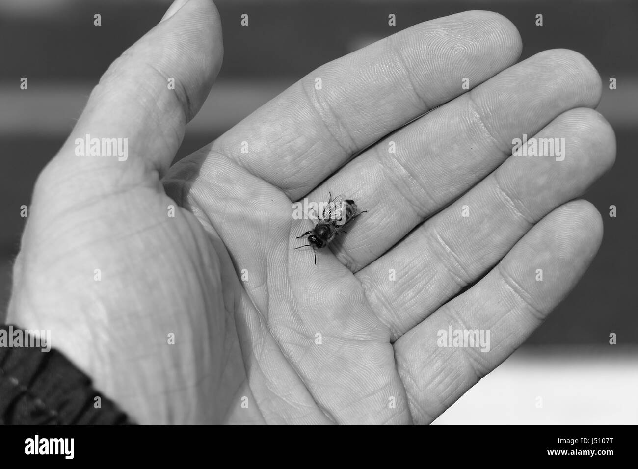 Man holds a bee in the palm of his hand after it runs out of juice and needs a ride to the next blossom, Prague - Stock Image