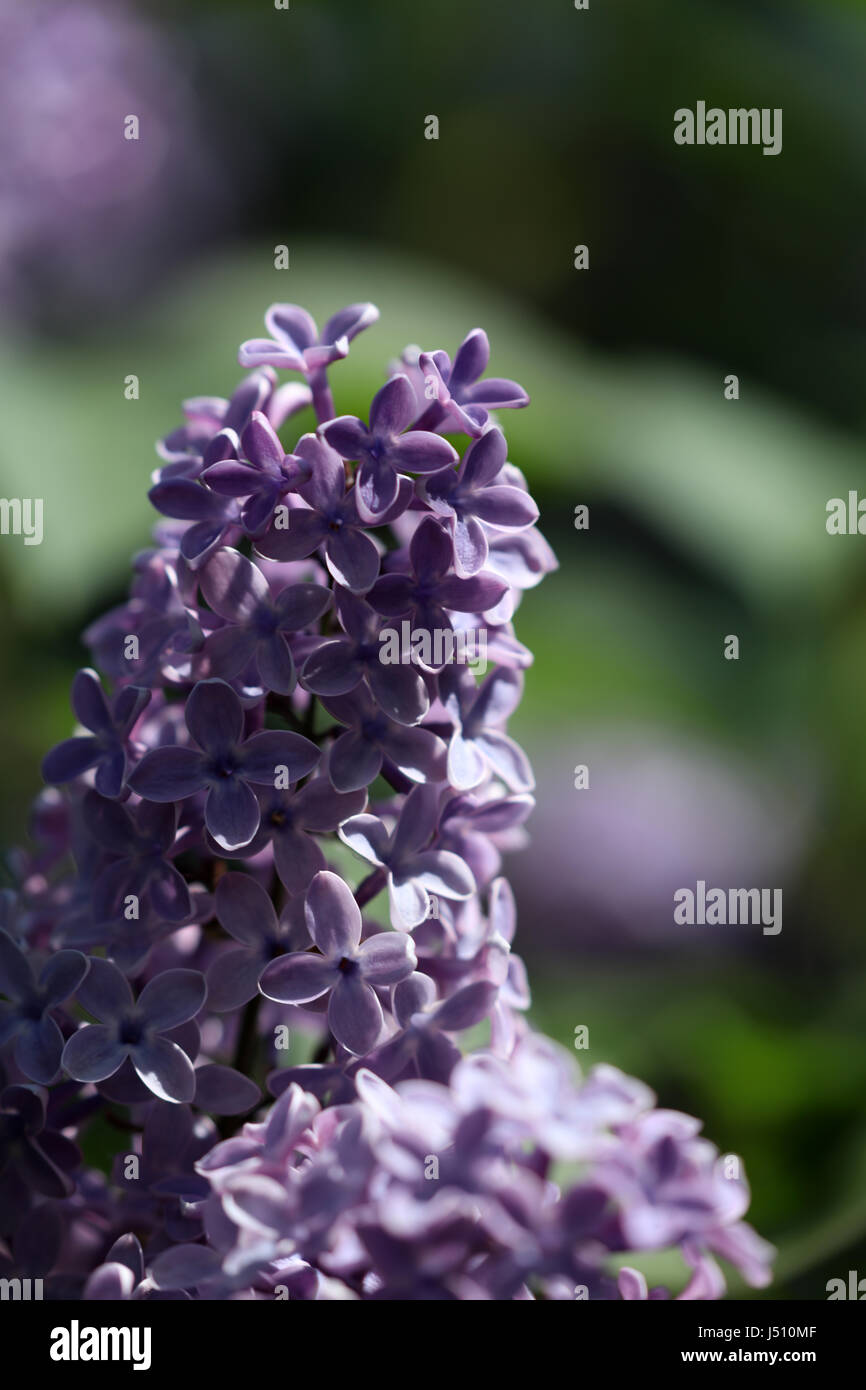 Flieder Blüte lila - Stock Image