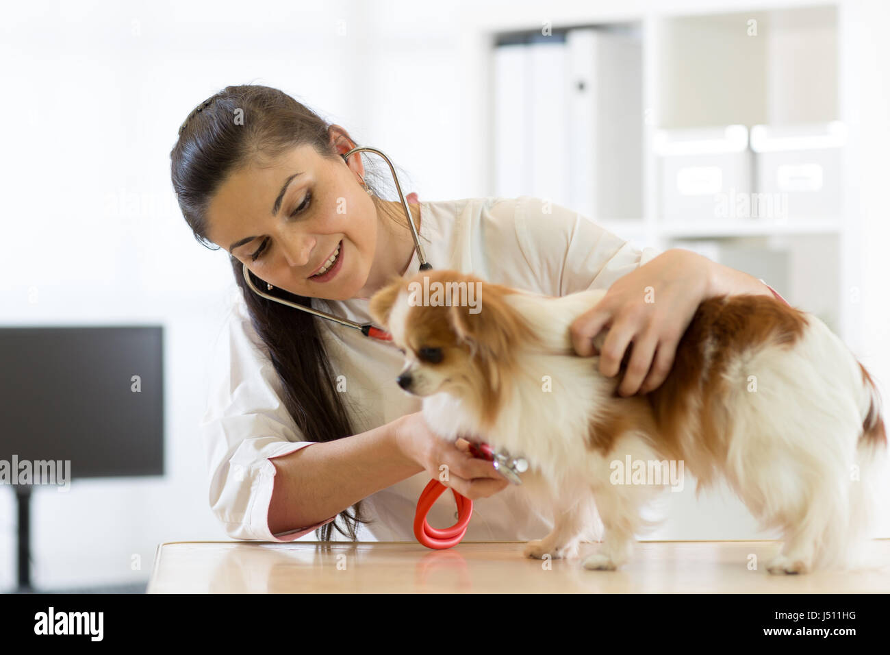 Veterinarian checks the health of a dog, that is on the table - Stock Image