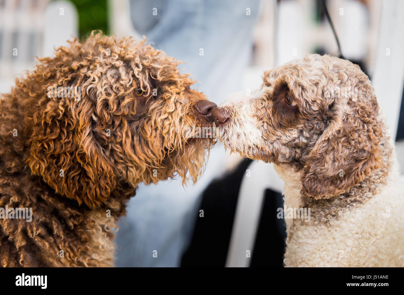 two lovely Spanish Water Dogs kissing. Indoor portrait - Stock Image