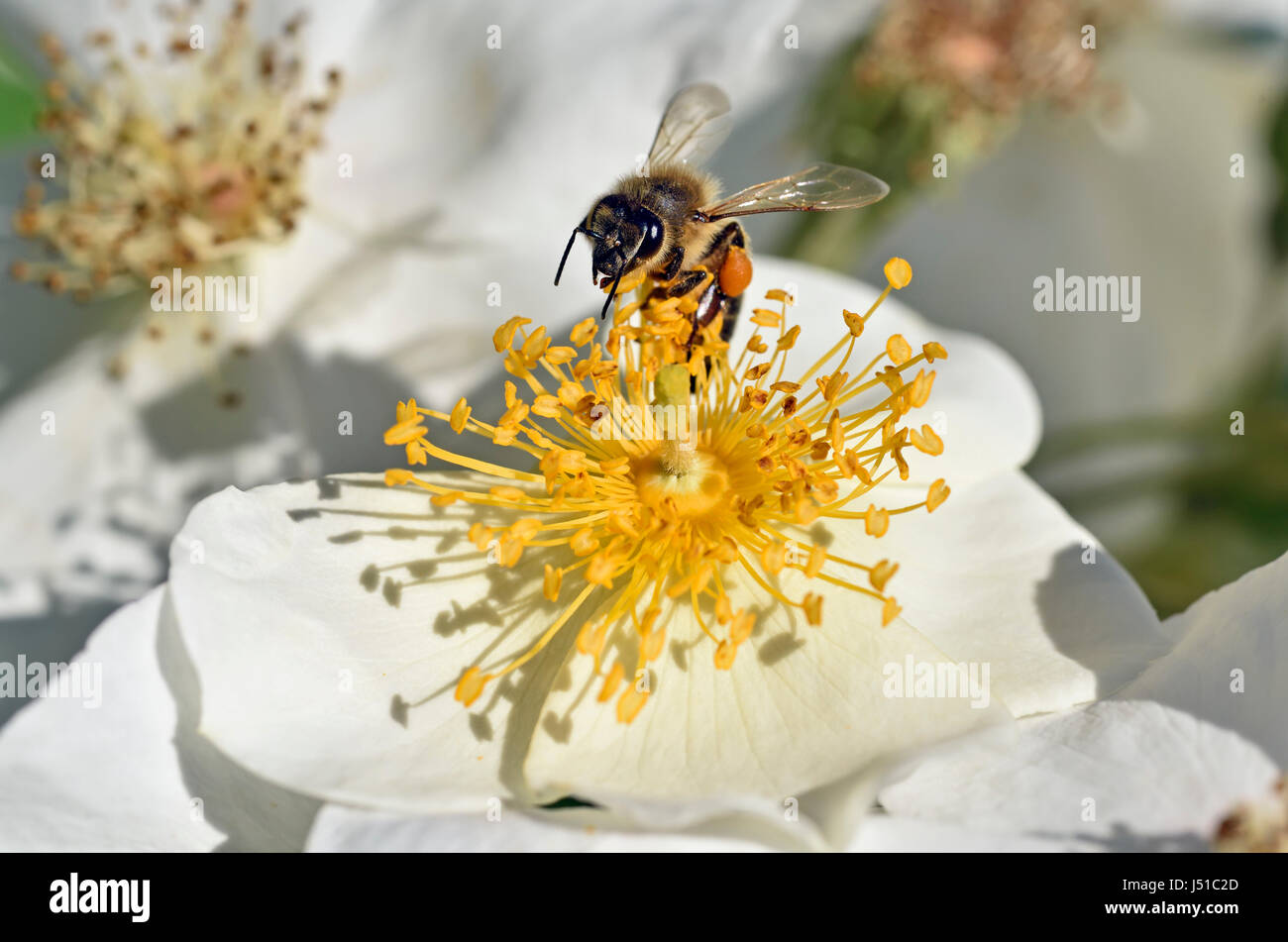 Bee collecting pollen on rosa canina wild flower - Stock Image